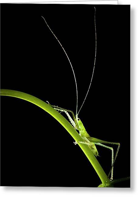 Green Bush Cricket Greeting Card by Alex Hyde