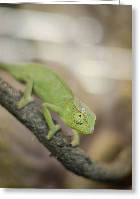 Cold Blooded Greeting Cards - Green Chameleon Greeting Card by Heather Applegate