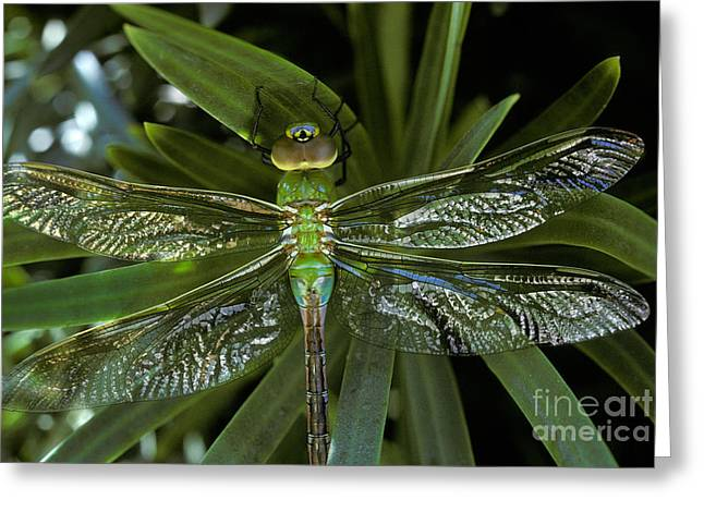 Green Darner Dragonflies Greeting Cards - Green Darner Anax Junius On Yew Plant Greeting Card by Ron Sanford