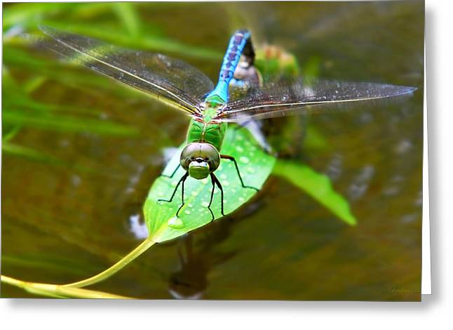 Green Darner Dragonflies Greeting Cards - Green Darner Dragonfly Greeting Card by Christina Rollo