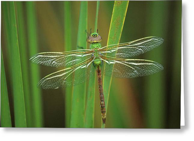 Green Darner Dragonfly On Reeds Greeting Card by Jaynes Gallery