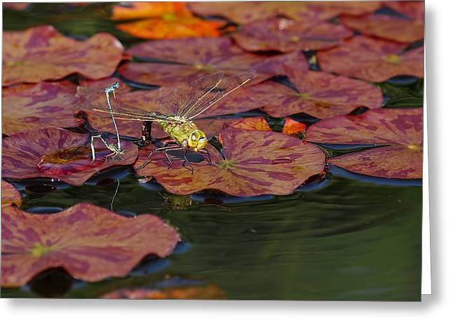 Green Darner Dragonflies Greeting Cards - Green Darner Dragonfly with Friends Greeting Card by Rona Black