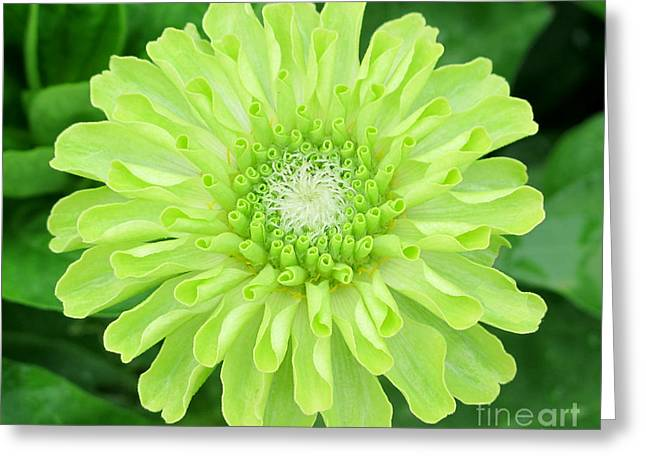 Ohio ist Digital Greeting Cards - Green Envy Zinnia Greeting Card by Kathie McCurdy
