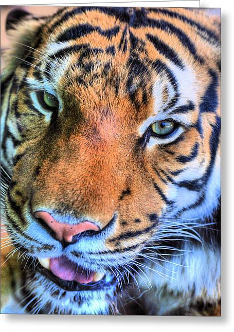 Tiger Photographs Greeting Cards - Green Eyed Redhead Greeting Card by JC Findley