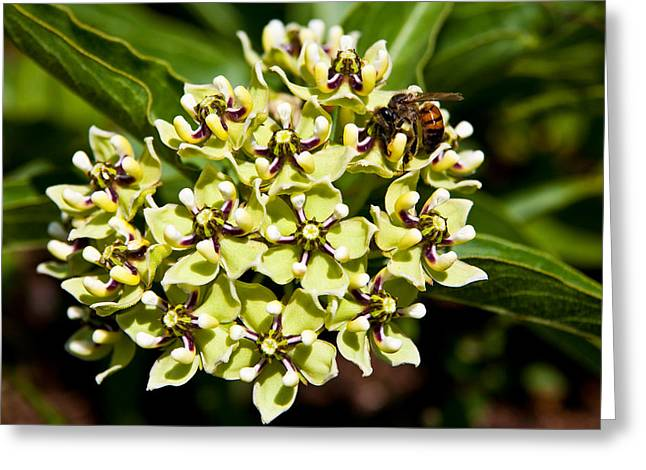 Flowered Greeting Cards - Green Flowered Milkweed Greeting Card by Mark Weaver