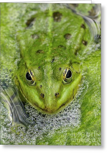 Algae Greeting Cards - Green Frog Greeting Card by Matthias Hauser
