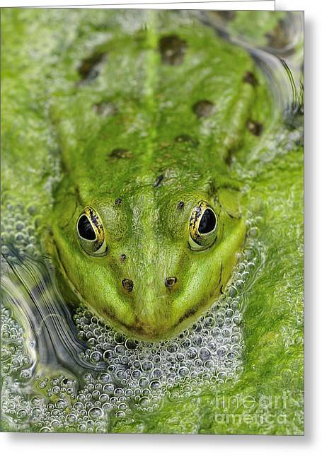 Head In The Water Greeting Cards - Green Frog Greeting Card by Matthias Hauser