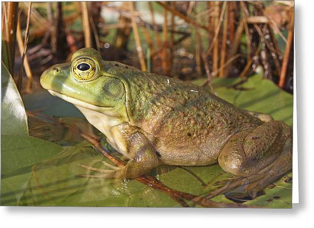 True Color Photograph Greeting Cards - Green Frog Nova Scotia Canada Greeting Card by Scott Leslie