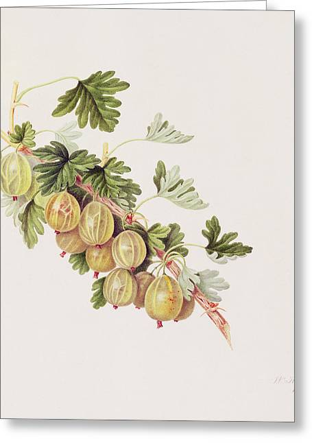 Green Gooseberry Greeting Card by William Hooker