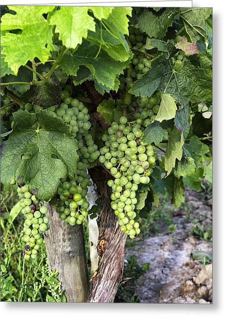 Grape Vines Greeting Cards - Green Grapes Greeting Card by Nomad Art And  Design