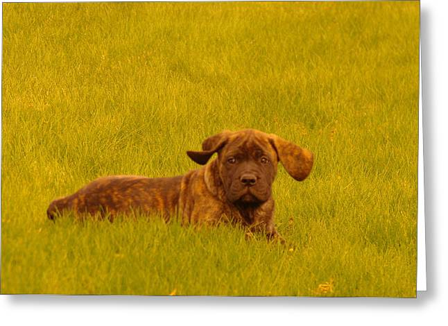 English Mastiff Greeting Cards - Green Grass And Floppy Ears Greeting Card by Jeff  Swan