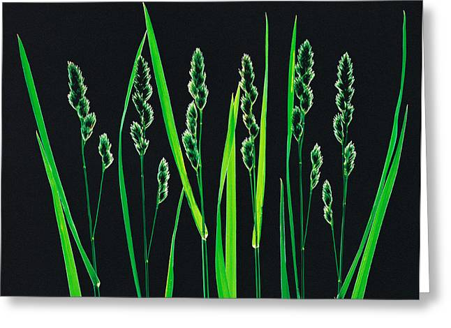Backlit Greeting Cards - Green Grass Reeds On Black Background Greeting Card by Panoramic Images