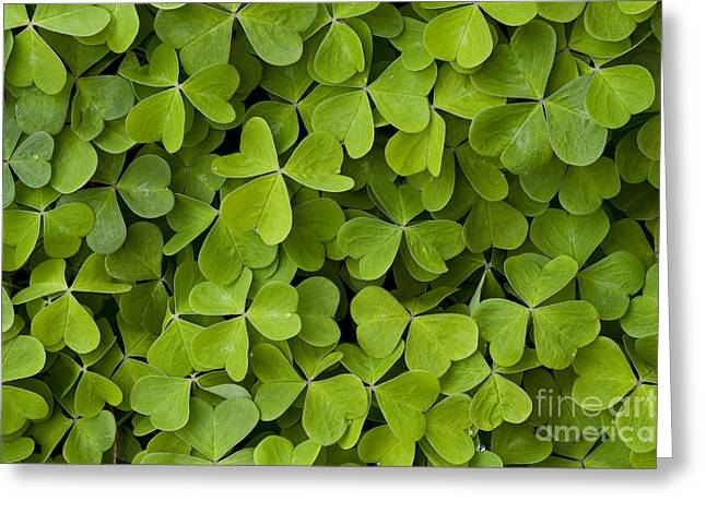 Bellevue Greeting Cards - Green Ground Cover Sorrel Greeting Card by Jim Corwin