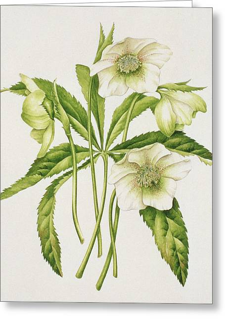 Flower Still Life Prints Greeting Cards - Green Hellebore Greeting Card by Sally Crosthwaite