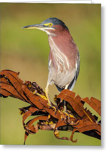 Color Yellow Greeting Cards - Green Heron Greeting Card by Andres Leon