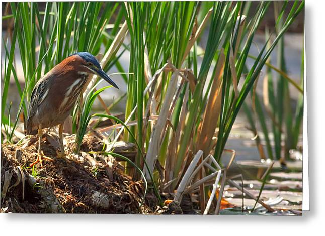 Green Heron FIshing Greeting Card by Kathleen Bishop