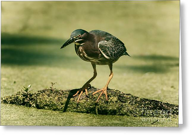 Algal Photographs Greeting Cards - Green Heron In Green Algae Greeting Card by Robert Frederick