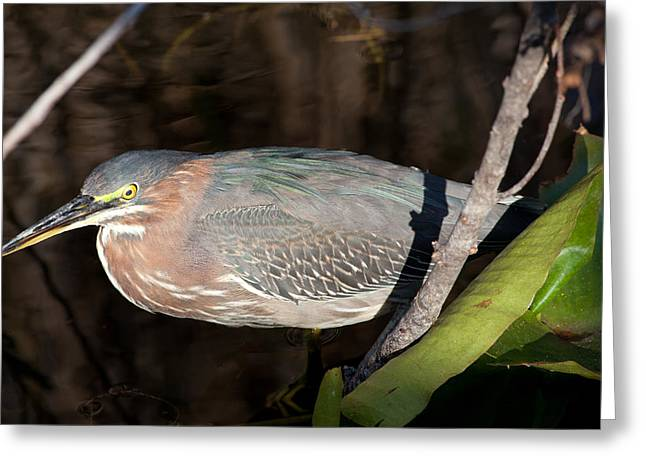 Natural Focal Point Photography Greeting Cards - Green Heron in the Everglades Greeting Card by Natural Focal Point Photography