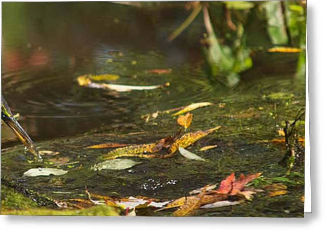 Water Fowl Greeting Cards - Green Heron Greeting Card by Josef Pittner