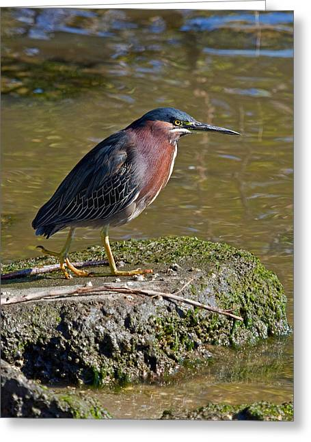 Featured Art Greeting Cards - Green Heron Portrait I Greeting Card by Dawn Currie