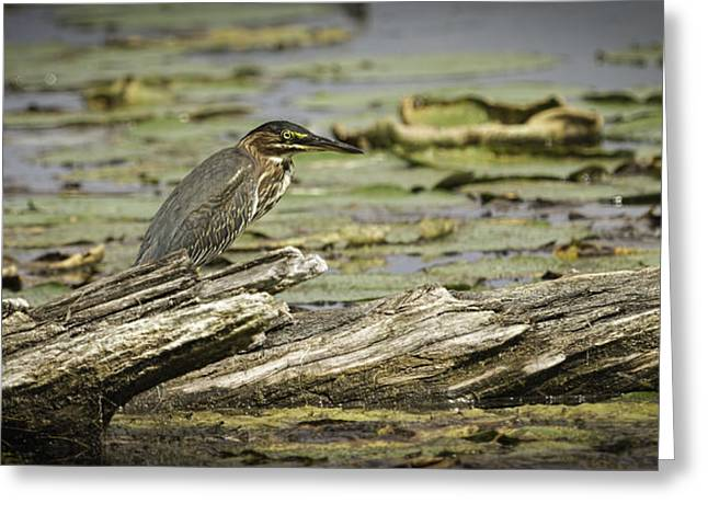 Wisconsin Fishing Greeting Cards - Green Heron Greeting Card by Thomas Young