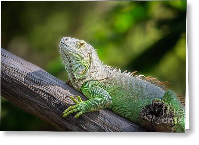 Hispaniola Greeting Cards - Green Iguana Greeting Card by Anek Suwannaphoom
