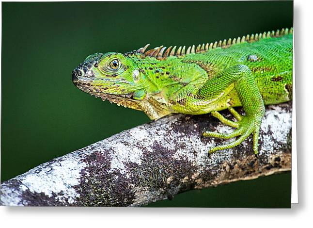 Animal Body Part Greeting Cards - Green Iguana Iguana Iguana, Tarcoles Greeting Card by Panoramic Images