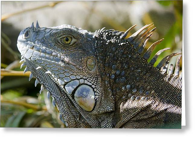 Neotropics Greeting Cards - Green iguana Greeting Card by Science Photo Library