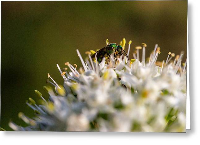 Tendrils Greeting Cards - Green Iredescent Bee 5 Greeting Card by Douglas Barnett
