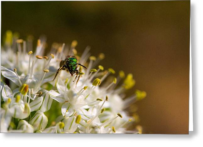 Irridescent Greeting Cards - Green Iridescent Bee 4 Greeting Card by Douglas Barnett