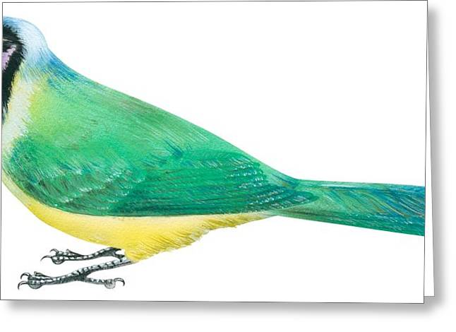 Exotic Drawings Greeting Cards - Green jay Greeting Card by Anonymous