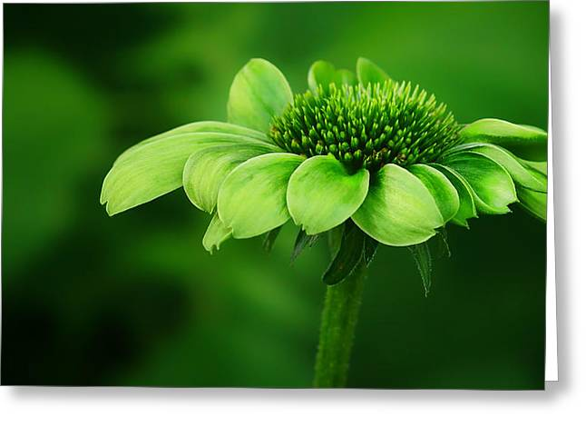 Envy Greeting Cards - Green Jewel - Cone Flower - Echinacea Greeting Card by Nikolyn McDonald