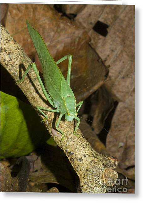 Katydid Greeting Cards - Green Katydid Greeting Card by William H. Mullins