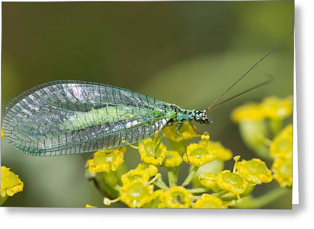 Wildlife Greeting Cards - Green Lacewing Greeting Card by Robert Carr