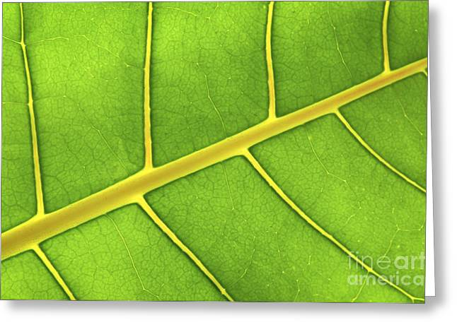 Sunlit Greeting Cards - Green leaf close up Greeting Card by Elena Elisseeva