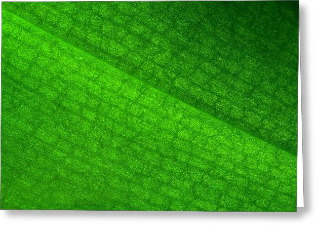 Botanical Greeting Cards - Green Leaf Orchid Greeting Card by Jozef Jankola