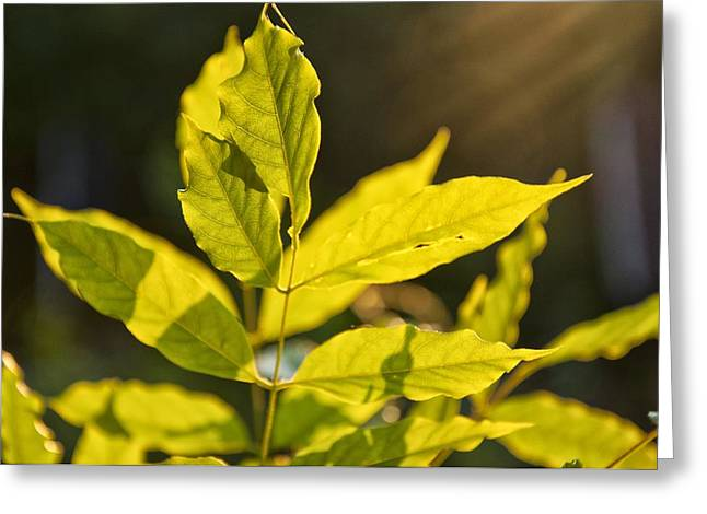Backlit Pyrography Greeting Cards - Green leaves backlit by summer sun Greeting Card by Katarzyna Drabek