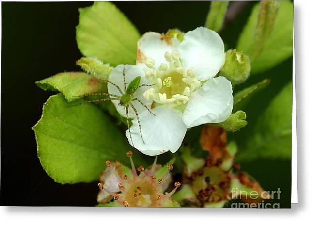 Green Lynx Spider On Blossom Greeting Card by Theresa Willingham