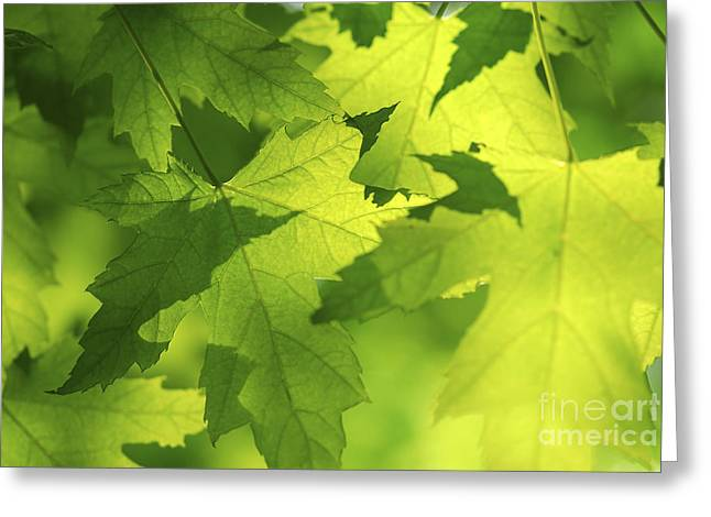 Sunlit Greeting Cards - Green maple leaves Greeting Card by Elena Elisseeva