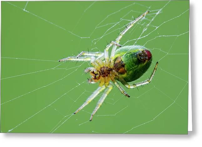 Green Orb Weaver Spider Greeting Card by Heath Mcdonald