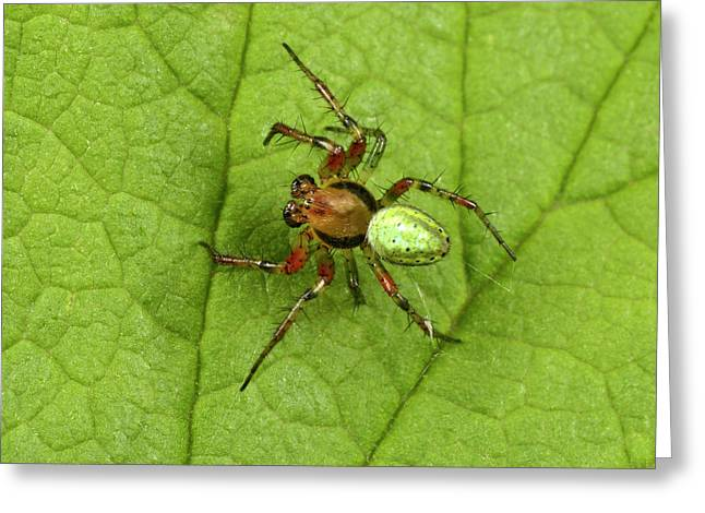 Green Orb-weaver Spider Greeting Card by Nigel Downer