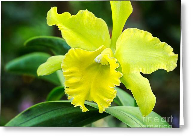 Florida Flowers Pyrography Greeting Cards - Green Orchid Greeting Card by Eyzen M Kim