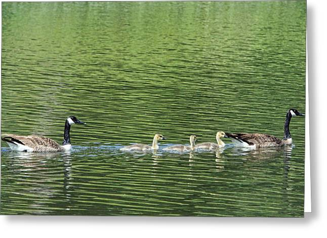 Geese Family Greeting Cards - Green river Canadian Geese Greeting Card by Linda Phelps