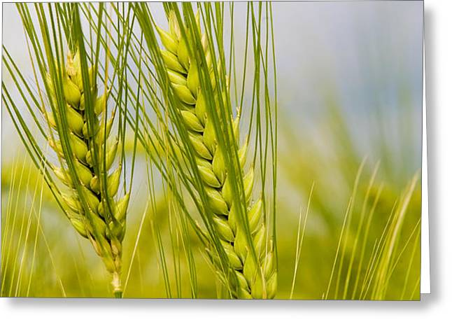 Green Rye Beautiful Greeting Card by Boon Mee