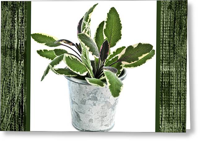 Green sage herb in small pot Greeting Card by Elena Elisseeva