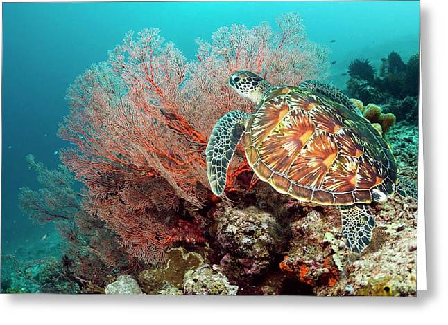 Green Sea Turtle And Gorgonian Greeting Card by Georgette Douwma