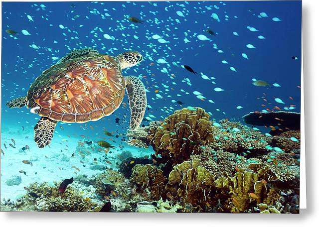 Green Sea Turtle And Reef Fish Greeting Card by Georgette Douwma