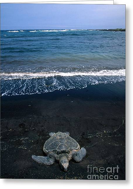 Emergence Greeting Cards - Green Sea Turtle Emerging To Nest Greeting Card by Mark Newman