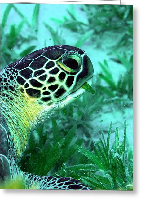 Green Sea Turtle Feeding Greeting Card by Louise Murray