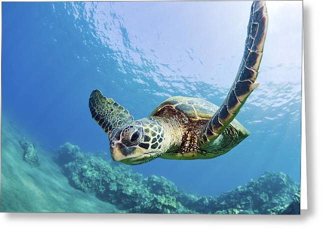 Shallows Greeting Cards - Green Sea Turtle - Maui Greeting Card by M Swiet Productions